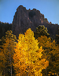 Autumn Aspen Tree,Lukachukai Mountain,Arizona