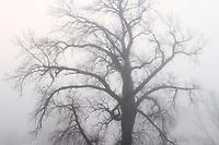 Plains cottonwood tree (Populus deltoides) in morning fog<br />Grande Pointe<br />Manitoba<br />Canada