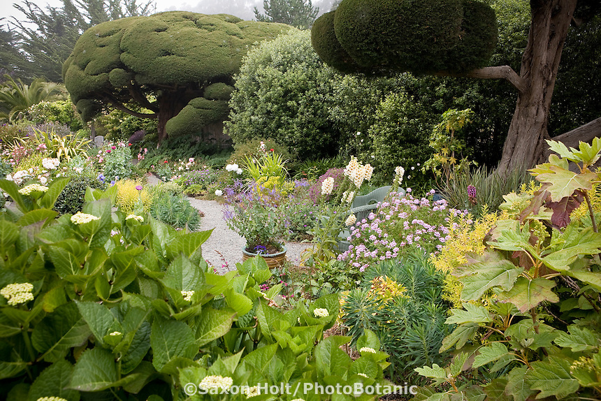 Cottage garden with Hydrangea (Lacecap on left; Oakleaf on right) in foreground, Monterey Cypress trees. Sally Robertson Garden.