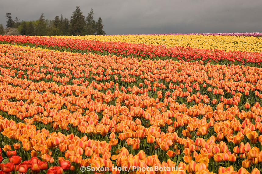 Rows of orange flower bulb 'Elite' in cut flower agriculture field at Tulip Festival, Skagit Valley Washington