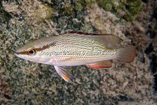Lutjanus griseus, Gray snapper, juvenile, Key West