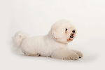 Bichon FriseDog, Laying Down Studio, White Background
