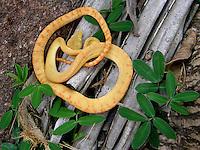 Suaçubóia<br /> Corallus hortulanus<br /> <br />  <br /> <br /> Outros nomes vulgares: Cobra-de-veado, amazon tree boa (ing.)<br /> <br /> Distribuição geográfica: Bacia Amazônica (Brasil, Peru, Equador, Bolívia, Venezuela, Guianas e Suriname)<br /> <br /> <br /> Habitat: Árvores e arbustos próximos a rios e igarapés de florestas tropicais.<br /> <br /> História natural: Esta espécie se caracteriza pelo corpo afinado, comprido e com a cabeça larga, bastante diferenciada do corpo. Sua coloração pode ser acinzentada, com desenhos romboidais sobre o corpo e ocelos (manchas circulares) nas laterais, ou totalmente amarela. Pode chegar a 1,4 m de comprimento.<br /> <br /> Com hábitos muito semelhantes aos da Corallus caninus, esta cobra permanece muito tempo imóvel, enrodilhada no próprio corpo. Entretanto esta espécie movimenta-se mais, principalmente no período reprodutivo. Sua maior atividade é no período noturno. Por ser uma espécie arborícola, sua alimentação baseia-se em pequenos roedores, rãs, morcegos e pequenas aves (periquitos, p.exemplo).<br /> <br /> De temperamento difícil, esta espécie tenta morder com freqüência. Por isso, deve-se ter especial cuidado no manuseio e na limpeza do recinto de criação. <br /> <br /> Foi criada pelo Decreto s/n de 13/02/2006, apresenta cerca de 85% de Floresta Ombrófila Aberta e pouco mais de 14% de Floresta Ombrófila Densa, inserida no município de Novo Progresso, PA. Tem como objetivo o uso múltiplo sustentável dos recursos florestais e a pesquisa científica, com ênfase em métodos para exploração sustentável de florestas nativas.<br /> (Fonte: Banco de Dados ISA, abril 2010).<br /> A Flona Jamanxim foi criada dentro de um contexto de ordenamento fundiário da área de influência da rodovia BR163. Seu principal objetivo remonta a servir de um freio ao desmatamento e a exploração predatória e insustentável que avançava na região na mesma velocidade que ocorreu no norte do Mato Grosso alguns anos antes. Sendo uma das regiões de mai