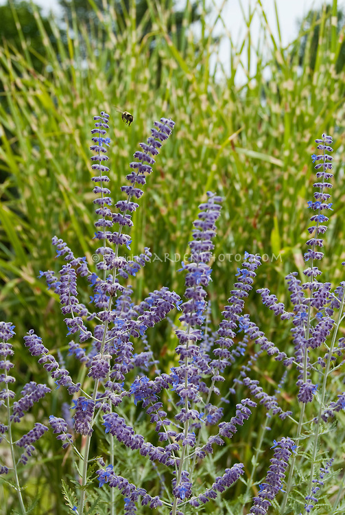 Russian sage Perovskia atriplicifolia in summer purple blue bloom in front of ornamental grass Miscanthus sinensis Strictus