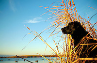 A Black Labrador dog sits at attention within cattails marsh grass used as a hunting blind.