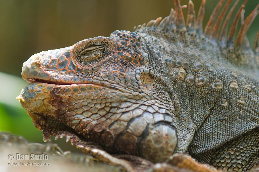 Green iguana, Iguana iguana. Wild, on the grounds of Zoo Ave, a zoo near San Jose, Costa Rica, specializing in native birds.