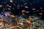 colorful tropical reefs, Flame fairy wrasse, healthy reefs, Manta Rays, reefscapes, Wide Angle, Cirrhilabrus jordani