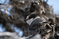 A Gray Jay in a Spruce Tree in Southcentral Alaska.