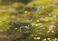 Azure Damselfly - Coenagrion puella