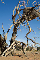 Sociable weaver birds have taken advantage of a dead camelthorn tree near Sossusvlei in Namibia to build a large communal nest. Dozens of birds will live here and there is a constant coming and going, accompanied by the birds' distinctive chicker-chicker sound.