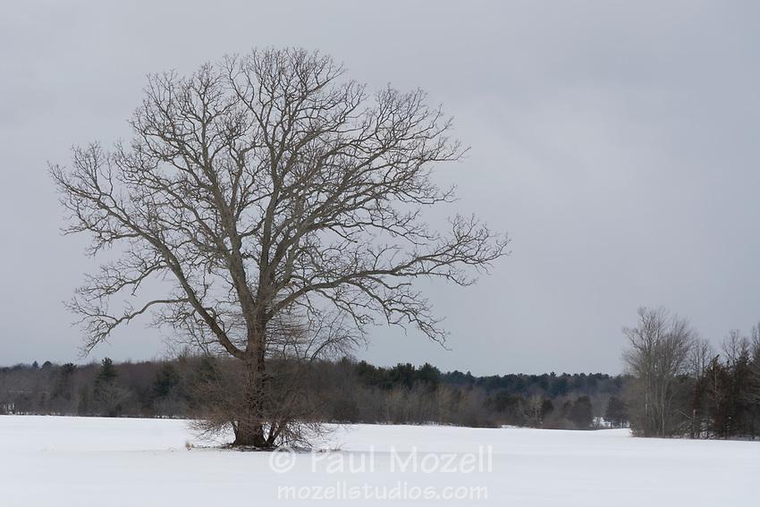 Newbury, MA — Solo tree in a pasture