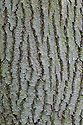 Bark of mature Ash tree {Fraxinus excelsior}.  Cambridgeshire, UK.