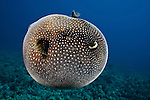 A Guineafowl Pufferfish inflated  (Arothron meleagris), Hawaii, USA.