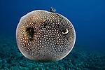 A Guineafowl Pufferfish inflated  (Arothron meleagris), Hawaii, USA.