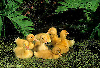 DG10-009x  Pekin Duck - four day old ducklings swimming