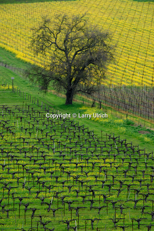 Vineyayds, mustard and valley oak<br />