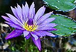 The water lilies of the McKee Botanical gardens create a show of color in nature.
