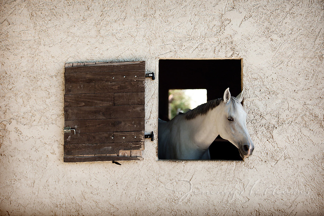 A beautiful white horse peeks his head out of his stable's window