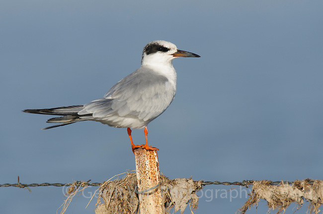 Forster's Tern (Sterna forsteri) in basic plumage. Malheur County, Oregon. September.