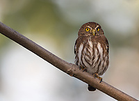 This Ridgway's pygmy owl perched at eye level on the grounds of our lodge.