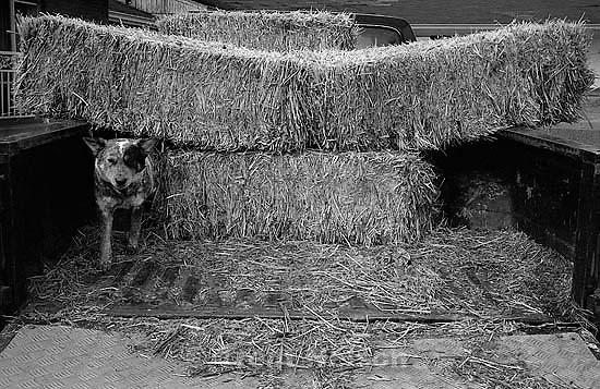 Dogs under hay in truck. Main Street photo essay. 02/19/2003<br />