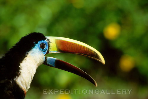 A white-throated toucan (Ramphastos tucanus) with its colorful beak open and calling. This colorful species is one of the widest ranging toucan species in the Amazon region of South America.