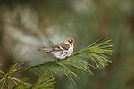 Male common redpoll perched on a white pine branch in northern Wisconsin.