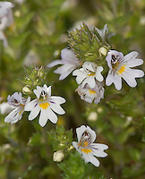 Gewöhnlicher Augentrost, Euphrasia officinalis, Euphrasia rostkoviana, Eufragia, Eyebright