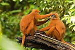 Red Leaf Monkey (Presbytis rubicunda) female grooming male, Tawau Hills Park, Sabah, Borneo, Malaysia