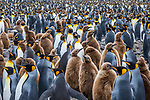 King penguin (Aptenodytes patagonicus)  rookery, South Georgia Island, British Overseas Territory<br />
