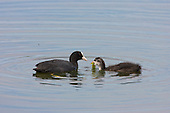 Coot (Fulica atra) Fledgling feeding on Algae, with parent in attendance. Still unable to fly, but becoming more independent.  Lancashire, UK