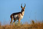 Pronghorn Antelope Buck