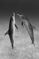 RW4727-Dbw. Atlantic Spotted Dolphins (Stenella frontalis), two interacting with each other above sandy bottom. Bahamas, Atlantic Ocean. Color photo converted to black and white.<br /> Photo Copyright &copy; Brandon Cole. All rights reserved worldwide.  www.brandoncole.com