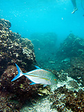 INDONESIA, Mentawai Islands, Kandui Resort, underwater view of a Travali fish swimming around a coral reef