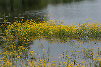 Wasser-Sumpfkresse, Ufer-Sumpfkresse, Wasserkresse, Wassersumpfkresse, Teichkresse, Rorippa amphibia, syn. Nasturtium amphibium, great yellowcress, yellow-cress, yellow cress, amphibious watercress, amphibious yellowcress, Marsh yellow cress