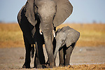 Botswana, Chobe National Park, Savuti,  African elephant mother and calf (Loxodonta africana) feeding on Savuti Marsh