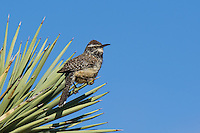 598060037 a wild adult cactus wren campylorhynchus brunniecepillus perches on  the spine leaves of a joshua tree yucca brevifolia in southern kern county california