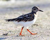 Ruddy turnstone in nonbreeding plumage, Oct 3.