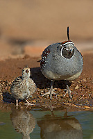 574470024 a wild male and chick gambel's quail callipepla gambelli drinks from a small pond near green valley arizona united states