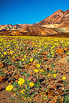 Yellow desert wildflowers in bloom