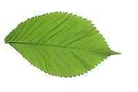 Berg-Ulme, Bergulme, Ulme, Weißrüster, Ulmus glabra, Ulmus scabra, Ulmus montana, Wych Elm, Scots Elm, L'Orme blanc, Orme de montagne. Blatt, Blätter, leaf, leaves