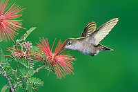 Calliope Hummingbird (Stellula calliope), female feeding on Fairy Duster (Calliandra eriophylla), Gila National Forest, New Mexico, USA