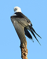Its nap time for this adult swallow-tailed kite. I can identify.