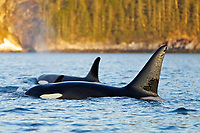 killer whale or orca, Orcinus orca, surfacing, Kenai Fjords National Park, Alaska, USA, Resurrection Bay, aka Blying Sound and Harding Gateway, Pacific Ocean