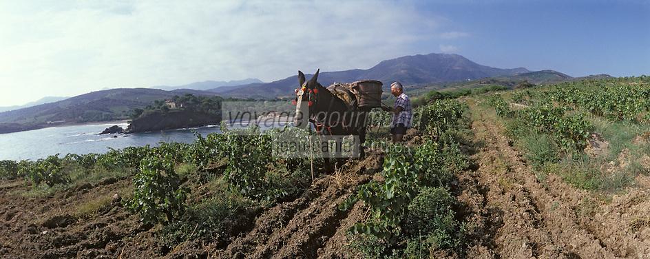 Europe/France/Languedoc-Rousillon/66/Pyrénées-Orientales/environs de Banyuls: vendanges traditionnelles avec le mulet, AOC Banyuls