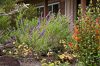 Trichostema Lanatum - Woolly Blue Curls with Sticky monkey flower in Kyte California native plant garden