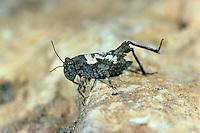 Langfühler-Dornschrecke, Weibchen, Tetrix tenuicornis, Tetrix nutans, Dornschrecken, Long-horned Groundhopper, female, Tetrigidae, grouse locusts, pygmy locusts, groundhoppers, pygmy grasshoppers