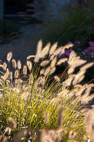 Backlit flower stalks of Fountain Grass, Pennisetum alopecuroides in garden