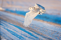 Snowy Owl (Bubo scandiacus) swoops down over a rural road in Alberta, Canada.