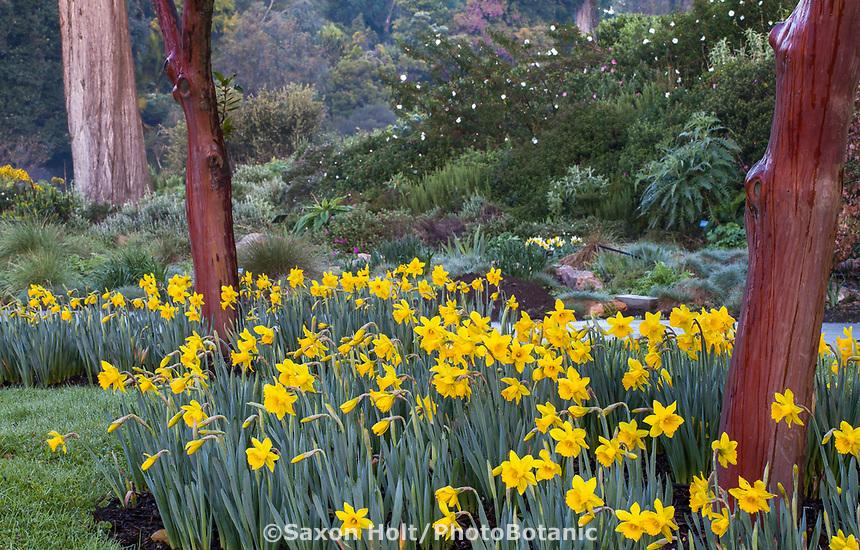 Daffodils around Great Meadow San Francisco Botanical Garden